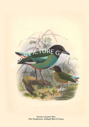 Western Hooded Pitta - Pitta Sanghirana, Schlegel Male & Young